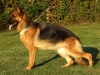 German Shepherds Puppies 13