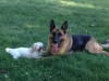 German Shepherds Puppies 23