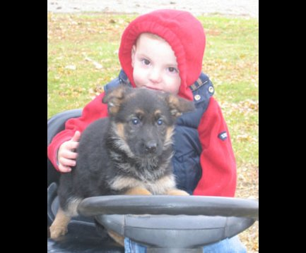 German Shepherds Puppies 2